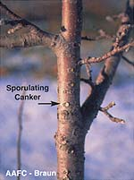 Anthracnose Canker