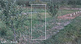 Apple Replant Disease in test plot