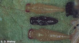 Chalcid species pupae