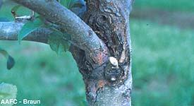 European Canker in crotch of limb