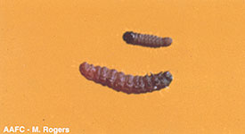 Eyespotted Budmoth larvae