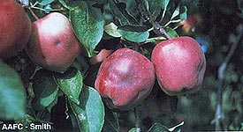 Heavy Apple Maggot Damage